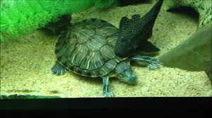 pleco cleans turtles youtube