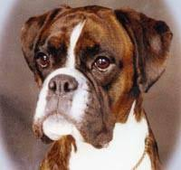 boxer dog price boxer dog our dogs magazine pedigree dog breeder directory