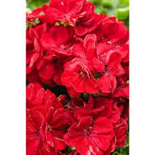 Geranium by Proven Winners Boldly Dark Red Geranium Pelargonium Live Plant