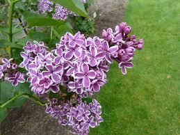 file lilac