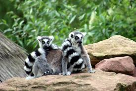 free photo lemurs zoo animals madagascar free image