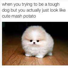 Cutest Memes - micro teacup pomeranians are the cutest dogs in existence cute