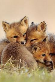sleeping red fox wallpapers 262 best fox images on pinterest fox animal foxes and red fox
