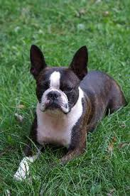 Causes Of Sudden Blindness In Dogs Signs U0026 Symptoms Of Blindness In Boston Terriers Pets