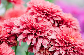 flowers in november flowers to pick in november gardenersworld com