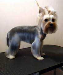 male yorkie haircuts explore yorkie haircuts pictures and select the best style for