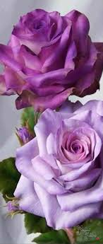 purple roses for sale purple roses for sale urldircom