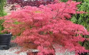buy watnong japanese maple 3 gallon japanese maples buy