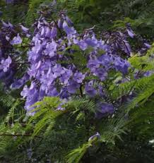 Shrub With Fragrant Purple Flowers - 100 trees with fragrant flowers points of interest hermann