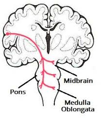 Pyramids Of The Medulla The Descending Tracts Pyramidal Teachmeanatomy