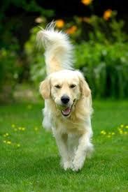 australian shepherd jumping fence keeping your dog in your yard thriftyfun