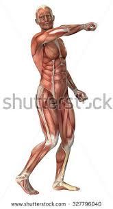 Female Anatomy Figure 3d Rendering Male Anatomy Figure Muscles Stock Illustration
