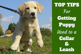 how to get your puppy used to a collar and leash