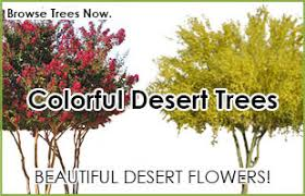desert trees for sale buy desert trees