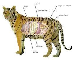 bengal tiger digestive system