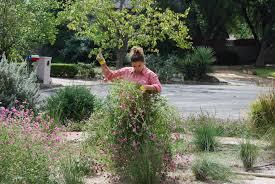 san antonio native plants gomphrena u0027fireworks u0027 love affair u2026 xericstyle
