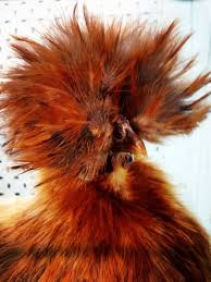 a silky chicken stands in a cage at a poultry show abc news