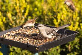 bird feeder problems sunflower seed toxins and its effect on