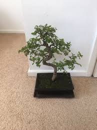 bonsai tree in bournemouth dorset gumtree