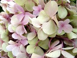 sweet viburnum 200mm pot viburnum how to grow hydrangeas the micro gardener