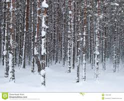 snowy tree trunks stock photo image of nature background 17991450