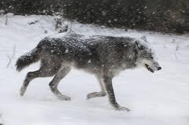 gray wolf stock by hotnstock on deviantart