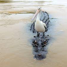 Louisiana wildlife tours images Take a fan boat tour of the louisiana bayou with airboat adventures jpg