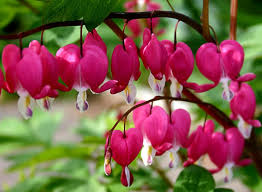 bleeding hearts flowers get free stock photo of bleeding hearts flowers and plants online
