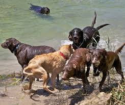 musings of a biologist and dog lover mismark case study labrador