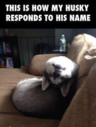 Husky Meme - a crazy husky memes lol