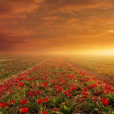 Flower Field Wallpaper - flower field landscape wallpaper