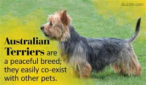 australian shepherd queensland heeler mix pictures awesome information about the blue heeler labrador mix breed