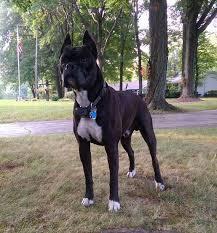 boxer dog reverse brindle laymani boxers puppies