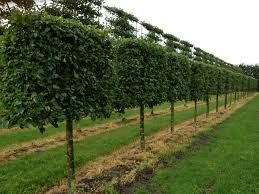 pleached pyrus calaryana chanticleer instant hedges suppliers