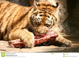 tiger eating meat clipart clipartxtras