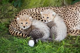 say hello to our cheetah cubs