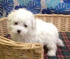 bichon frise dogs for adoption view ad bichon frise puppy for sale colorado denver usa