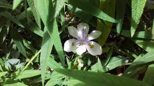 flowers white african iris wild south africa garden flower image