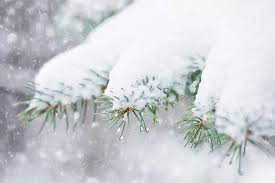 free photo snow in pine tree pine branch free image on pixabay