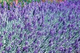 Shrub With Fragrant Purple Flowers - 10 award winning shrubs with fragrant foliage by graham rice rhs