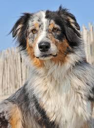 australian shepherd 1 jahr gewicht australian shepherd hund wesen erziehung und eigenschaften