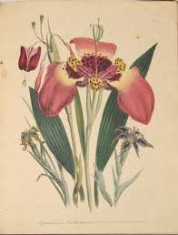 the flower garden of ornamental bulbous plants loudon