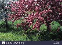 flowering crab apple tree in height of bloom in new brunswick