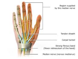 Tendon Synovial Sheath Flexor Retinaculum Of The Hand National Library Of Medicine