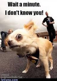 Chihuahua Meme - chihuahua meme lekton info