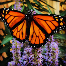 six ways to save monarchs the national wildlife federation