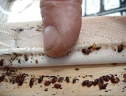 Kill Bed Bugs Cris Carl 100 Effective Bed Bug Treatment Found Useful