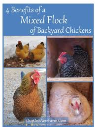 Backyard Chicken Com 4 Benefits Of A Mixed Flock Of Backyard Chickens