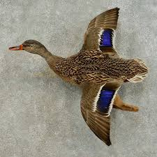 Mallard Duck Home Decor Mallard Duck Hen Bird Mount For Sale 16338 The Taxidermy Store