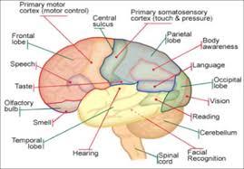 Anatomy Of Human Body Pdf Anatomy And Physiology Of Human Brain Pdf Brain Diagram Human